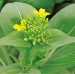 くせもえぐみもないチンゲンサイだが、花芽は一層おいしく高級食材として利用されている
