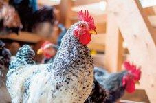 専用の鶏舎で元気に育つ小樽地鶏。飼育から食肉加工まで一貫して手掛けるのは、道内初の取り組みだ