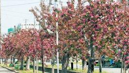 赤~いりんごの並木道。市内の一ツ谷地区には、赤~いりんごの木 約380本が1km にわたって植えられている