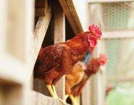 幻の地鶏といわれる「土佐ジロー」