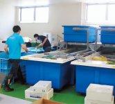 3月に完成した鮮度維持処理のできる加工施設。朝仕入れた鮮魚を一時保管する巨大いけすが並ぶ