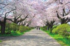 約2km続く桜並木のソメイヨシノは樹齢90年以上。一般にソメイヨシノの寿命は60年ほどといわれている