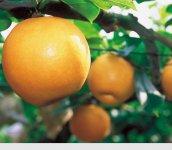 温暖な気候風土に恵まれた伊万里は「フルーツ王国」でもある。中でも梨は西日本有数の生産量を誇っている