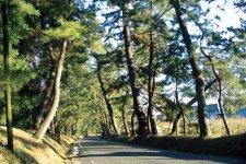 御油の松並木。御油町は江戸時代、東海道53次の35番目の宿として栄えた。松並木は、この御油の家並みの続きにあり、約300本の松の大木が並んでいる。弥次さん、喜多さんで有名な「東海道中膝栗毛」の舞台になった