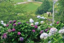 ヒロイン・中将姫伝説が伝わる恋野地区では、多くのあじさいをみることができる(写真上)