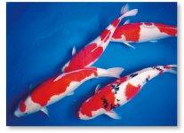 小千谷市は、泳ぐ宝石と呼ばれる錦鯉の産地でもあるほか、魚沼産コシヒカリ、ユネスコの世界文化遺産に登録されている小千谷縮などでも有名だ