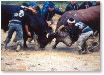 迫力満点の牛の角突き。滝沢馬琴の書いた『南総里見八犬伝』にも記述があり、地域の伝統行事として長年守られてきた