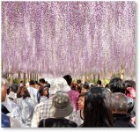 毎年4月下旬から5月の連休にかけて曼陀羅寺公園で行われる江南藤まつり。多くの観光客が押し寄せにぎわう