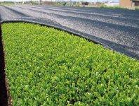 茶畑。同市の西部地域は「黒ぼく」という茶栽培に適した土壌で、主に煎茶・かぶせ茶が生産されている