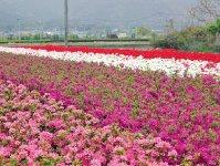 ツツジ。同市は全国有数の植木生産地でツツジやサツキは盛んに栽培される
