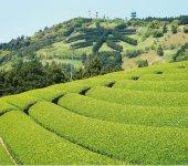 美しい風景をつくりだす掛川の茶園