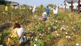 コットンのPRのため、昨秋「綿摘み大会と工場見学」ツアーを開催
