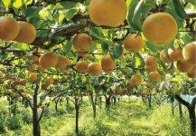 平成23年に「佐野ブランド」に認証された梨。8月上旬から幸水、豊水、あきづき、にっこり……とさまざまな品種のリレーが続く