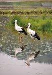 コウノトリ:コウノトリ目コウノトリ科に属する鳥類の一種、特別天然記念物。現在、約90羽が野外で大空を舞っている [撮影:富士光芸社 高井信雄氏]