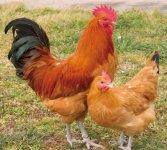 日本三大地鶏の一つ「名古屋コーチン」