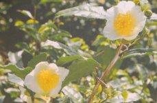 花をつけたお茶の木。この自然の姿をそのまま化粧品に込めている
