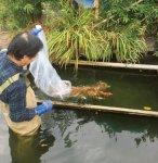 米の仕入れなどで縁のある新潟県十日町で養殖された錦鯉の引き上げに毎年参加。その稚魚を所沢市内の学校や病院の池に放流し、地域に貢献している