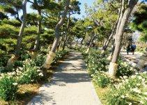 城ヶ島公園のハイキングコースに咲く八重咲きの水仙(約30万本)。見頃は1月中旬からの約1カ月間