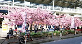 三浦海岸の河津桜。見頃は2月中旬〜3月上旬。昨年は約30万人の花見客でにぎわった