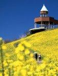 翠波高原の菜の花:4月上旬から5月上旬が見どころ。緩やかな斜面を黄色い菜の花が覆う。家族連れなどに人気のスポット