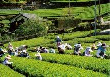 新宮茶:無農薬で育てた豊かな香りと渋味あふれる味わいが特徴のお茶。本市自慢の逸品