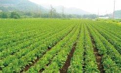 休耕地を有効利用したちこり畑は、雇用拡大、高齢者雇用、地元観光事業にも大きく貢献