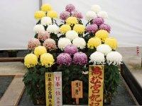 日本菊花会主催の第33回日本菊花全国大会(於:国華園)の受賞作品。高松宮妃記念杯。全国4800人から出品があった
