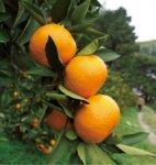 和泉みかん:市内南部の丘陵地区で主に栽培されている。和泉市は大阪府内最大のミカンの産地