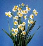 水仙:和泉市の花。鎌倉時代にわが国で最初に栽培された地が和泉市であったといわれている