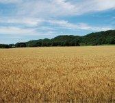 江別市は有数の小麦の産地。北海道産の小麦にはハルユタカのほかに、春よ恋、はるきらり、きたほなみ、ゆめちから、キタノカオリなどの品種がある