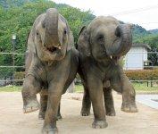 徳山動物園のスリランカから寄贈された2頭のゾウ