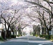 市の中心部にある約650mの桜並木。ソメイヨシノ約100本が桜のトンネルをつくる