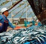 水揚げされた魚介類 サンマ