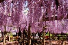 JR銚子駅から徒歩5分の妙福寺の藤棚。樹齢は700年超。毎年5月初旬には見事な紫の花すだれを見せる