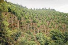 宮崎・大分に約1,100haの山林を所有。定期的な間伐と枝打ちをしてはじめて高級木材ができるという