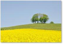 菜の花畑:日本一の面積(170ヘクタール)を誇る菜の花畑、5月中旬から6月にかけて黄色の菜の花が満開