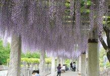 4月下旬〜5月上旬に見ごろを迎える藤。その時期に「ふじまつり」が開催される
