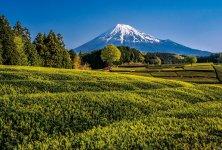 茶畑が広がる大淵笹場(ささば)から望む富士山