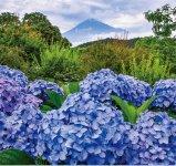 岩本山公園に咲くあじさい