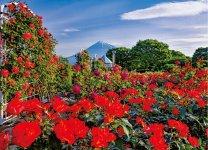 中央公園に咲くバラ