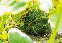 えびすかぼちゃ/代表的な地場産品のひとつ。鮮やかな果肉の色、強い甘みとホクホクした食感が特徴