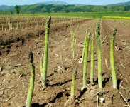 全国有数の生産量を誇るグリーンアスパラガス