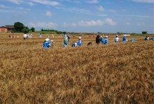 パンが小麦からできることを体感する子どもたち。小麦の種まき、収穫は地元小学校の食育として定着しつつある