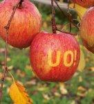 大きく実った女性会のリンゴ