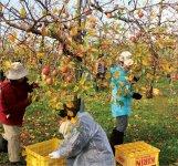 リンゴの収穫体験