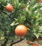 奄美を代表する果物。たんかん