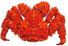 花咲ガニ:流通量も少なく「幻のカニ」ともいわれる。ゆでると真っ赤になる