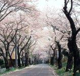 太平山(おおひらさん)の桜のトンネルは圧巻