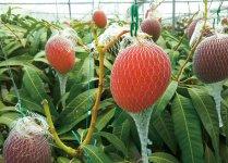 熟して落ちるのを防ぐためネットで覆われたマンゴー