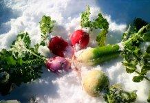 雪下野菜の収穫。富山県では2011年から「とやまのカン(寒)・カン(甘)野菜プロジェクト」をはじめ、冬野菜の生産拡大を図る